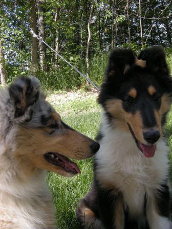 Taliesen Collie Puppies Born in Michigan on 03-13-08