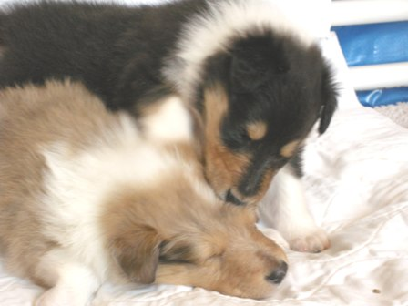 week_old_tri_color_collie_puppy_and_sable_merle_collie_puppy.jpg