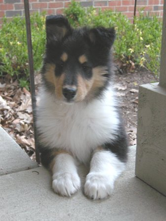 Collie Breeders, Tri-Color Collie Puppy, tri color collie puppies