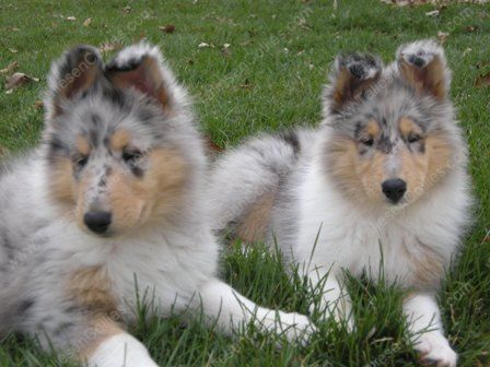 Welcome to Taliesen Collies of Michigan >> We are a Rough Collie