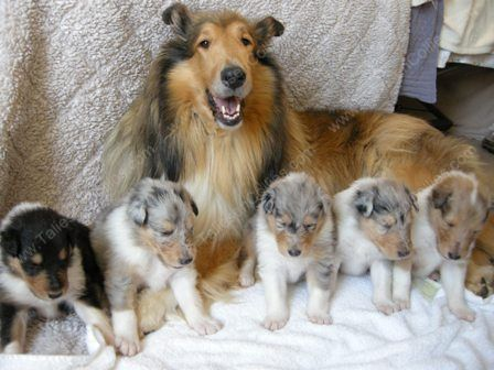 To Taliesen Collies Of Michigan We Are A Rough Collie Breeder Quality Puppies In All Colors Blue Merle Tri Color